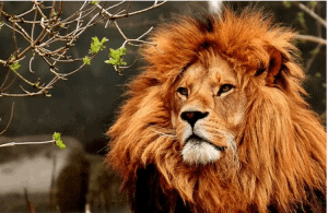 African Lion Names