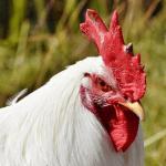 White Chicken Names