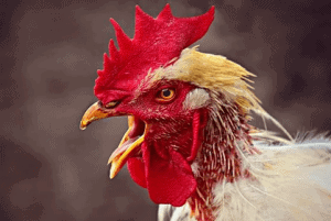 Chicken Names, funny Chicken Names