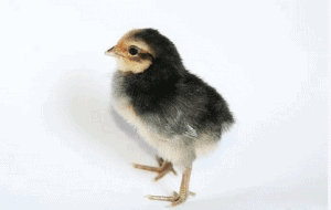 Pet Rooster Names
