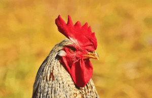 rooster names