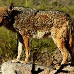 coyote poop, coyote scats, coyote poop pictures, coyote poop images