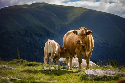 good cow names, funny cow names