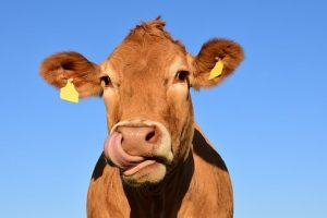 funny cow names