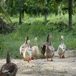 Funny Duck Names, female Duck Names, good Duck Names, cute Duck Names, male Duck Names, rubber Duck Names