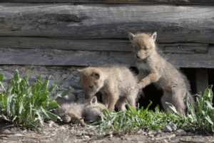 coyote baby pictures, What does a baby coyote look like, What does a baby coyote sound like