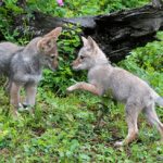 baby coyote, What does a baby coyote look like, What does a baby coyote sound like