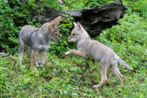 coyote baby pictures, baby coyote, What does a baby coyote look like, What does a baby coyote sound like