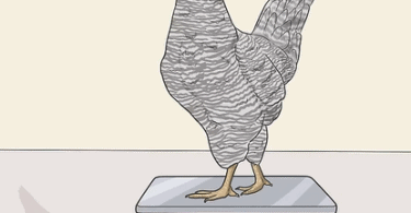How Much Does A Chicken Weigh