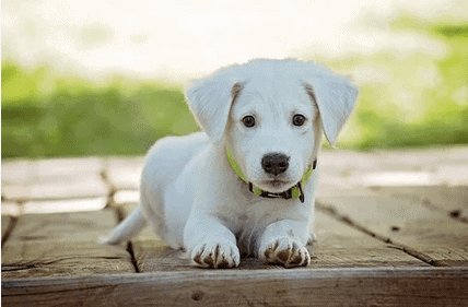 Big White Dog Breeds And Small White Dog Breeds