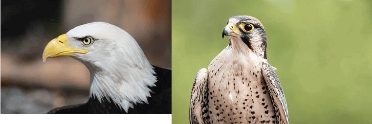 eagle vs falcon