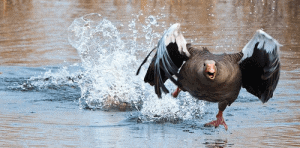 Funny Goose Names