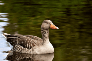 Famous Goose Names