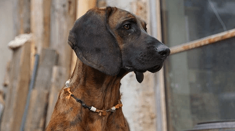 Famous Bloodhound Names