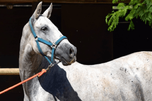 Famous Gray Horse Names