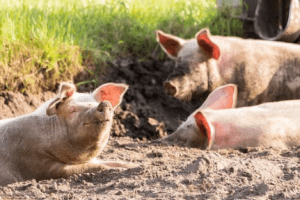 Advantages of Farrowing Crates For Pigs