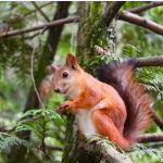 Squirrel Names, Red Squirrel Names