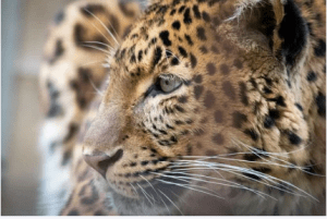 African Leopard Names