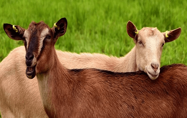 DO FEMALE GOATS HAVE HORNS