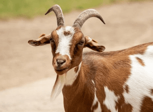 Do All Goats Have Horns?