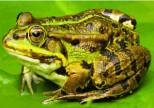 Famous Frog Names