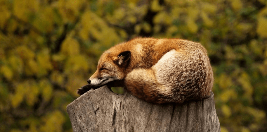 can foxes climb trees