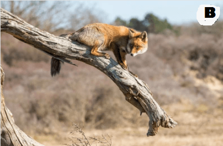 can foxes climb tree